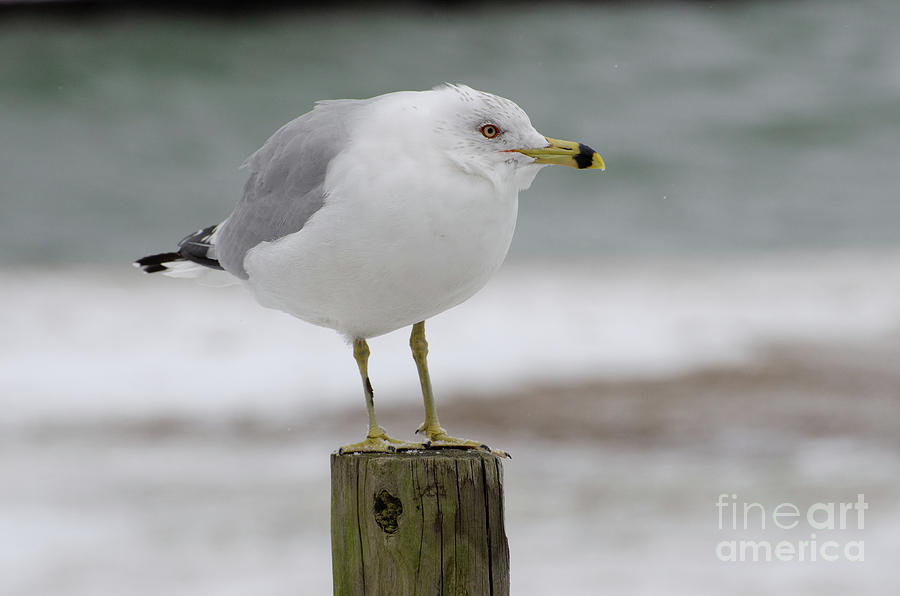 The Shore Watch - Seagull in Snow by The Ford Family