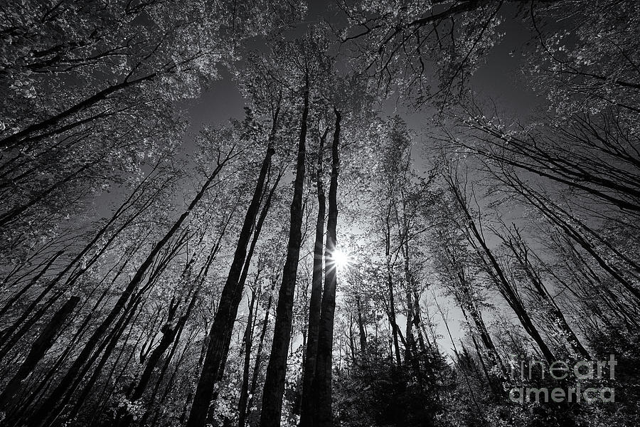 The Sparkling Forest Light Mono Photograph