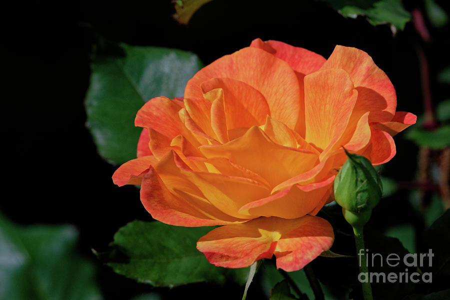 The Tea Rose Photograph