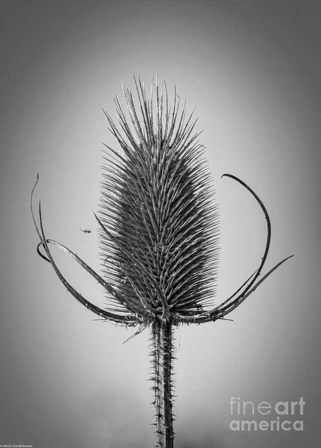 The Teasel Black And White Photograph