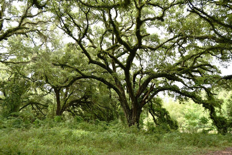 The Very Old Live Oak Tree Photograph