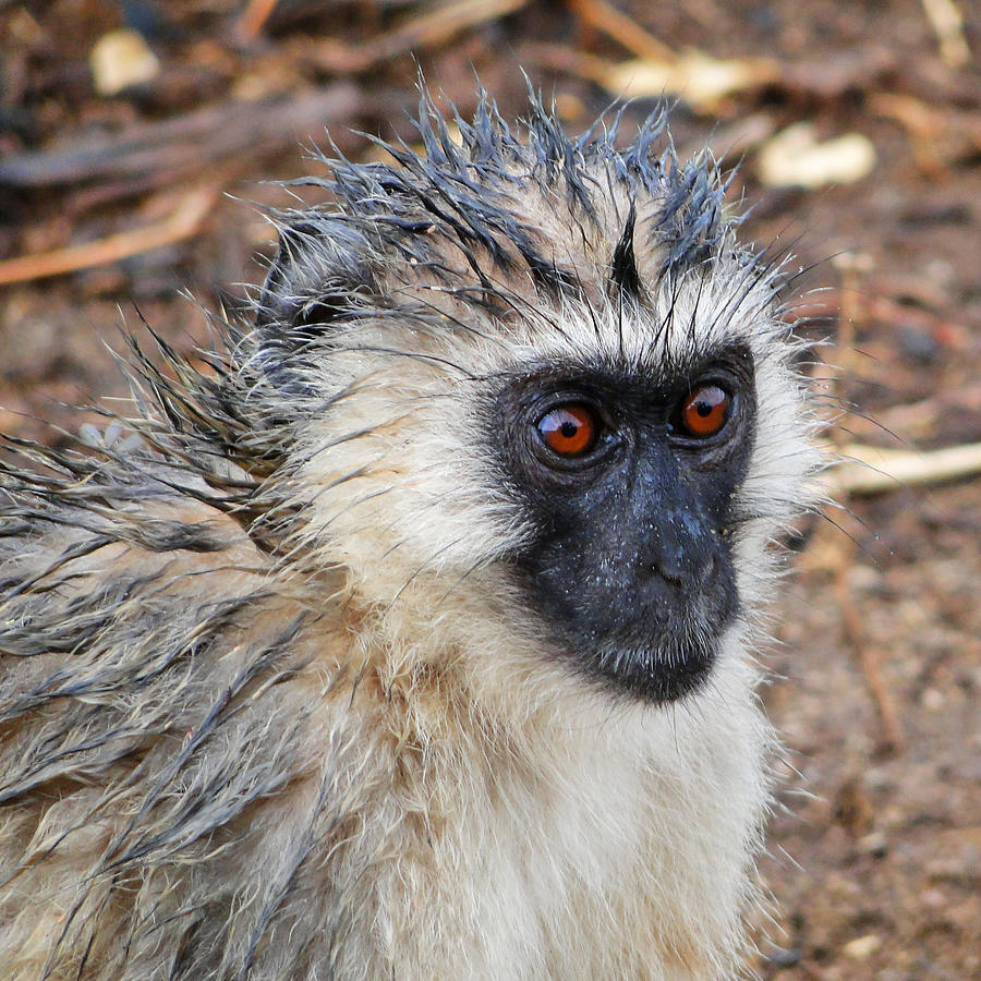 The Wet Vervet Monkey Photograph by Marco Di Fabio
