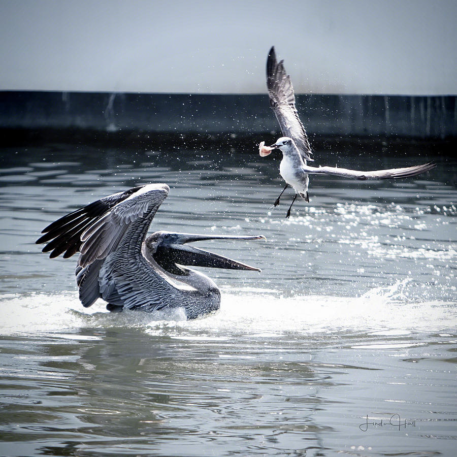 Pelican Photograph - The Winner by Linda Lee Hall