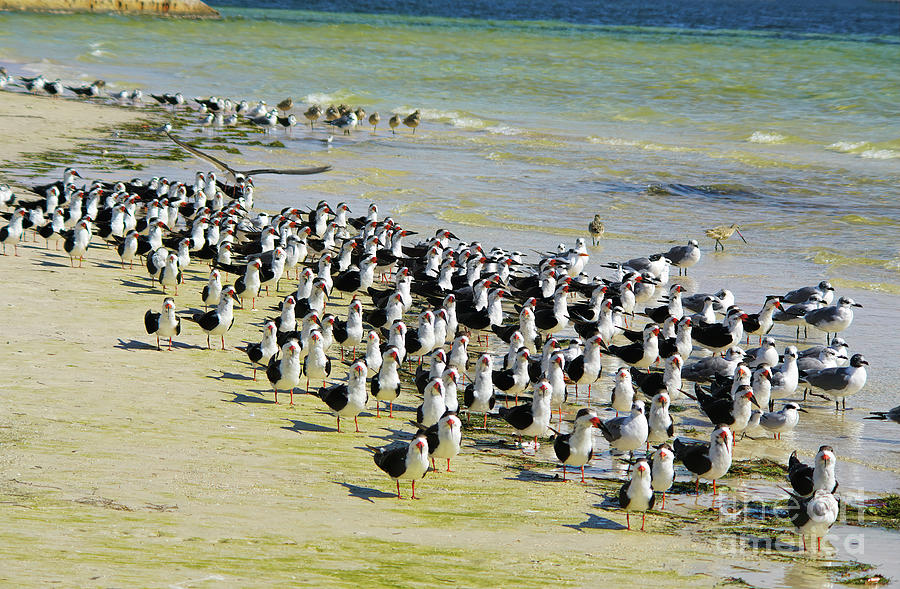 Black Skimmer Photograph - The World Belongs To Birds Rally,  Black Skimmers by Felix Lai
