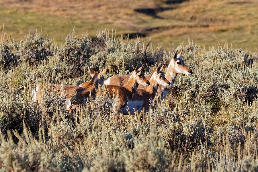 There's One In Every Family - Pronghorn, Yellowstone by KJ Swan