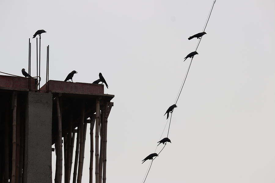 Thirsty Crows 1 Photograph