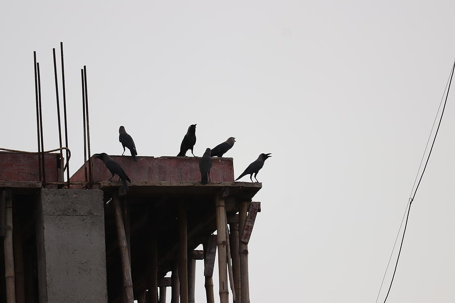 Thirsty Crows2 Photograph