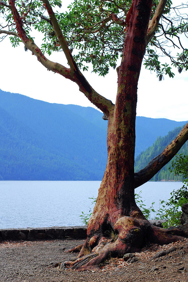Pacific Madrone Photograph - This Ole Tree. Pacific Madrone by Connie Fox