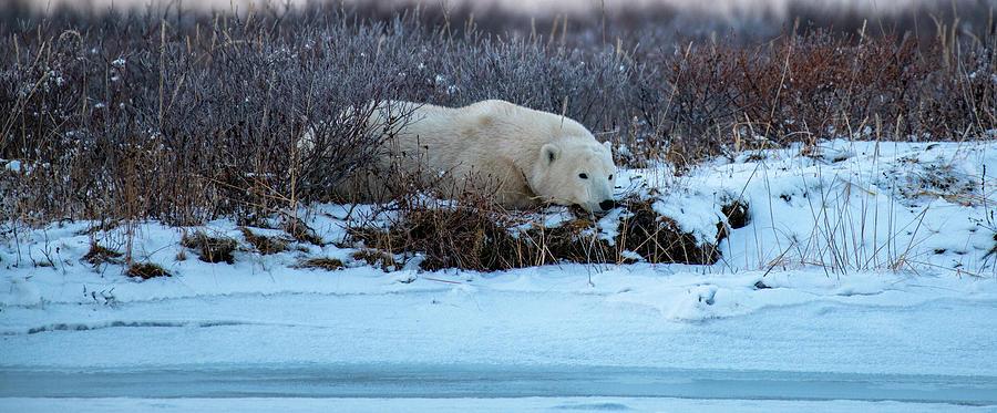 Thoughtful Polar Bear by Mark Hunter