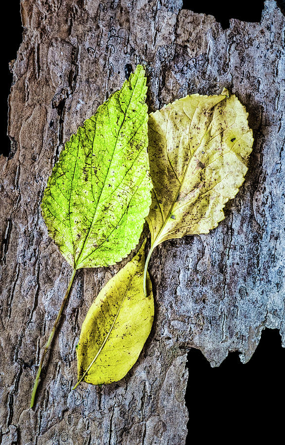 Three Autumn Leaves On Bark by Gary Slawsky