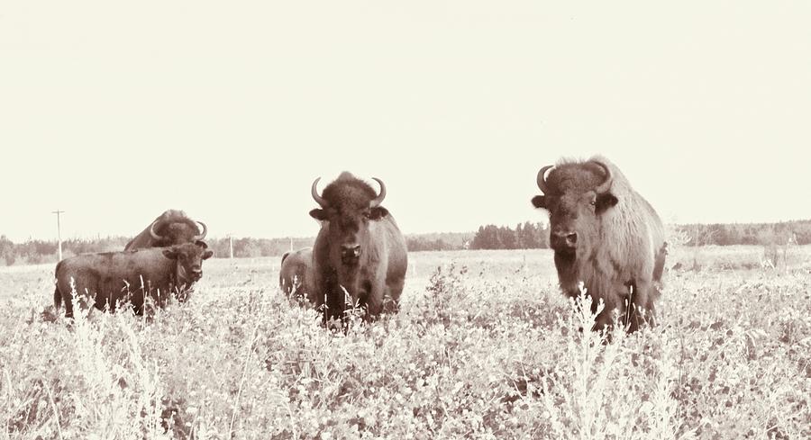 Three Buff Friends Photograph