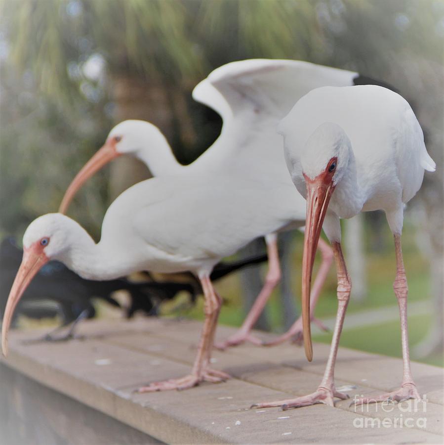 Three Contemplating Ibis Birds by Philip and Robbie Bracco