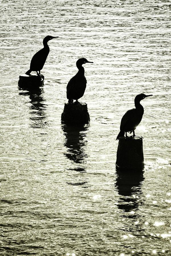 Cormorant Photograph - Three Cormorants  by A J Paul