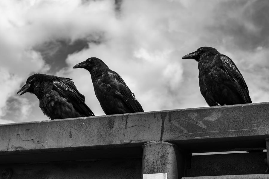 Three Photograph - Three Crows 2 by Damon Dulewich