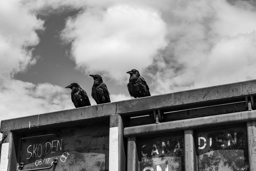Three Crows Photograph - Three Crows  by Damon Dulewich