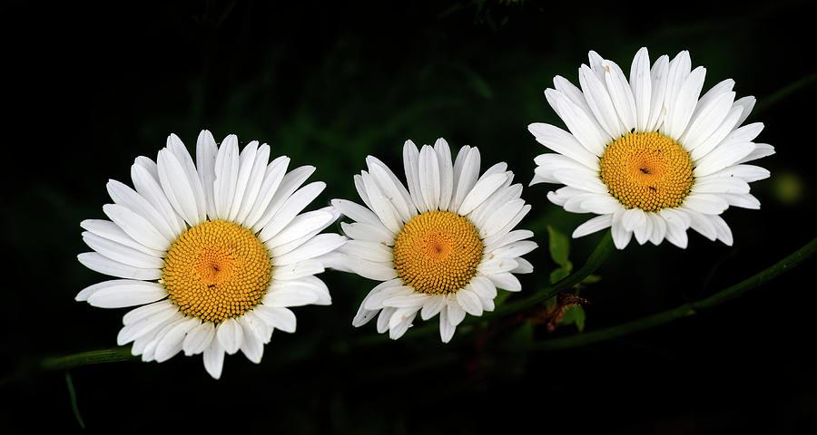 Three Daisies Photograph