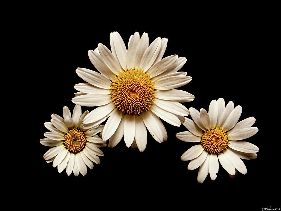 Three Daisies by Weston Westmoreland