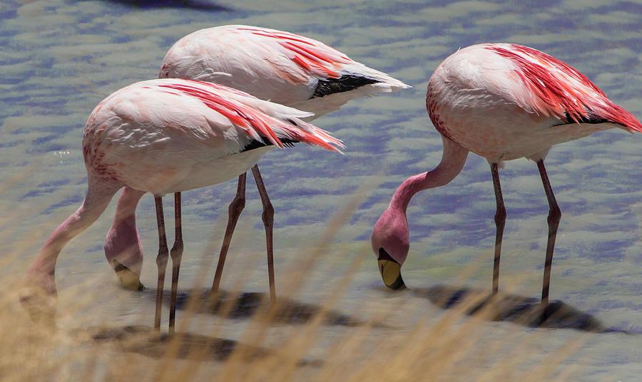 Birds Photograph - Three Flamingos, Salar de Uyuni Lagoon,Bolivia by Venetia Featherstone-Witty