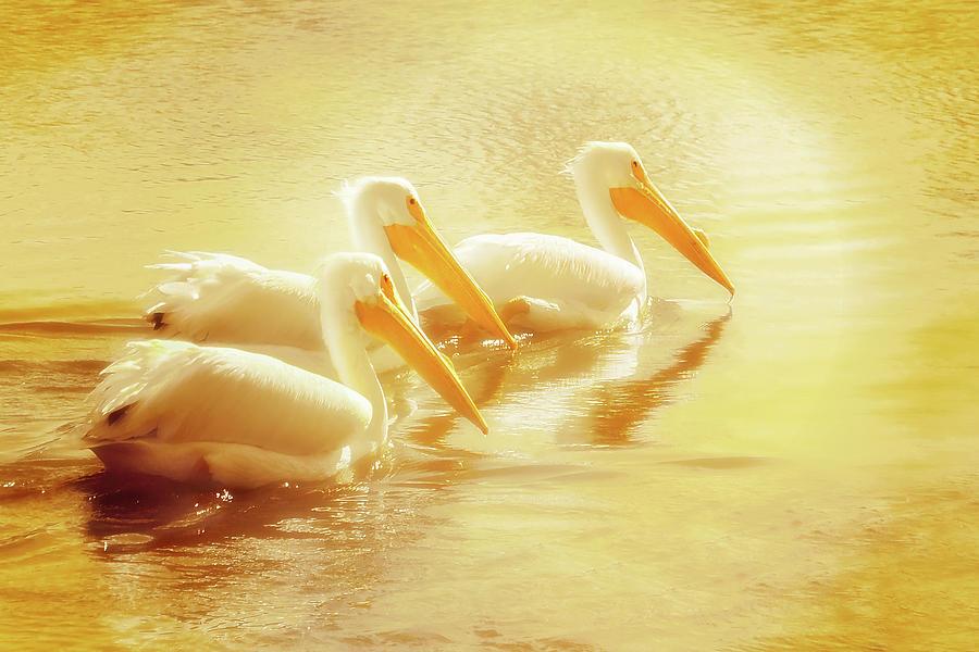Three Golden Pelicans Photograph