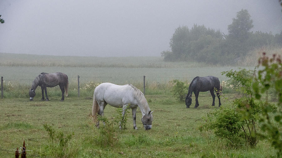 Three Horses In A Pasture A Foggy Morning Photograph