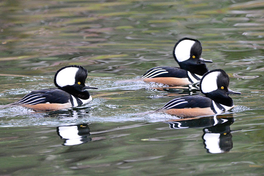 Three Male Hooded Mergansers by Jerry Griffin