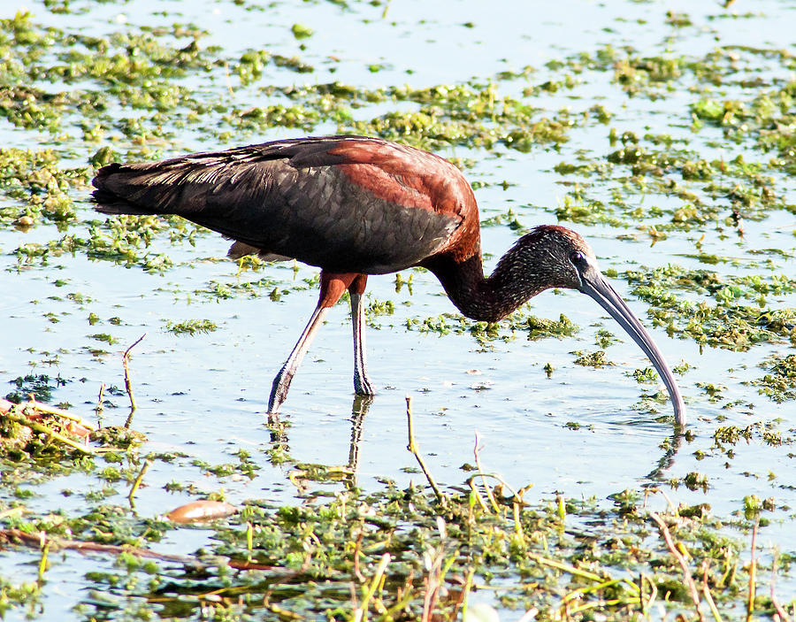 Glossy Ibis Photograph - Three Point Stance by Norman Johnson