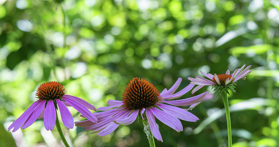 Three Stages Of The Cone Flower Photograph