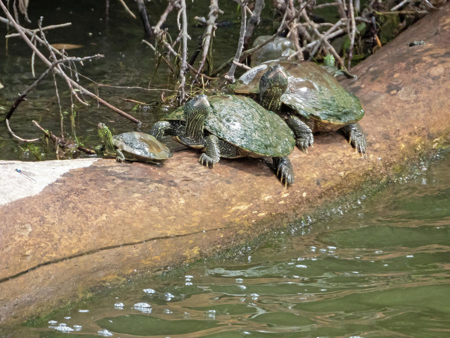 Three Turtles Photograph