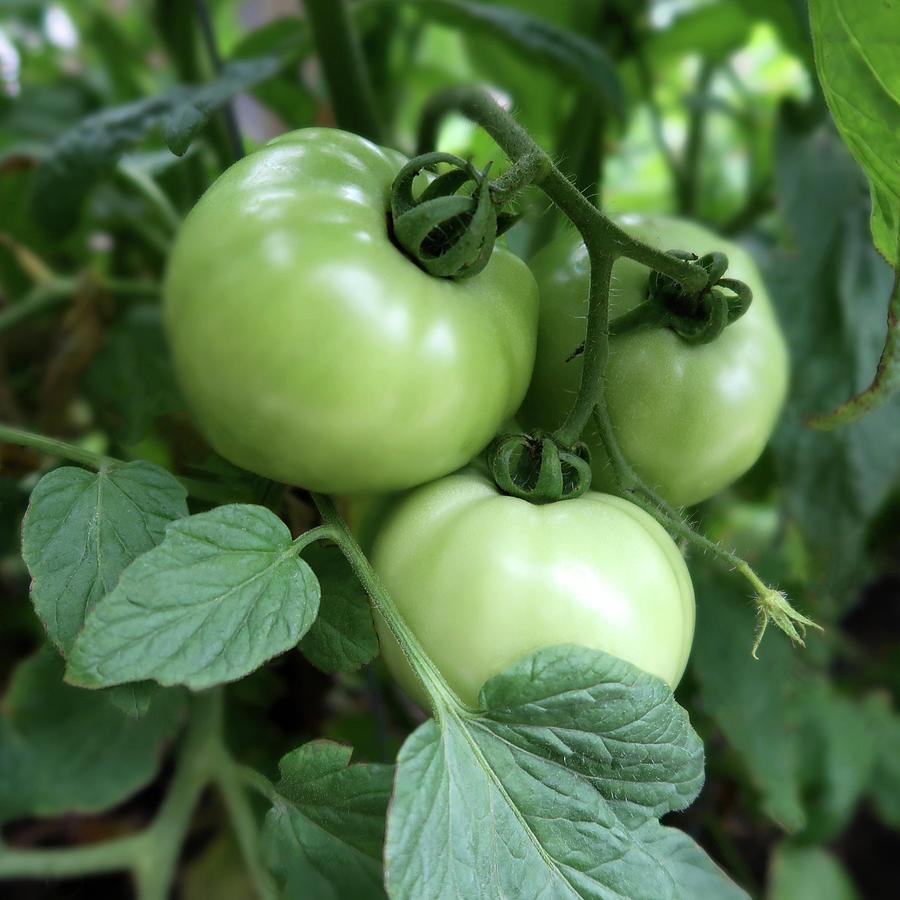Three Vine Tomatoes Photograph