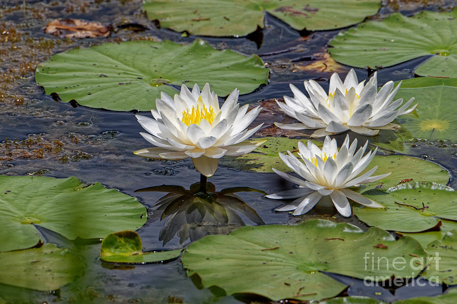 Three Water Lilies Photograph