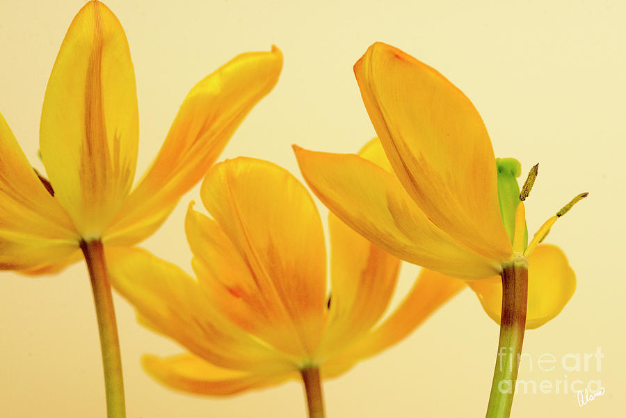 Three Yellow Tulips Photograph