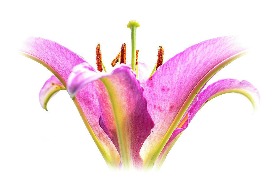 Tickled Pink Photograph