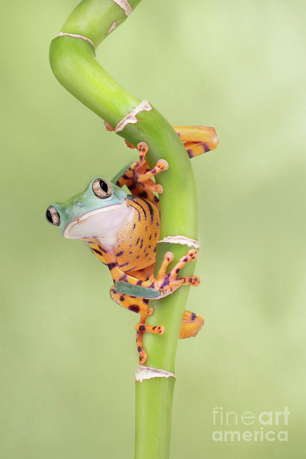 Tiger Leg Mondey Tree Frog Photograph