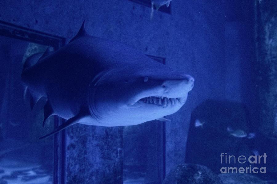 Tiger Shark - Study I by Doc Braham