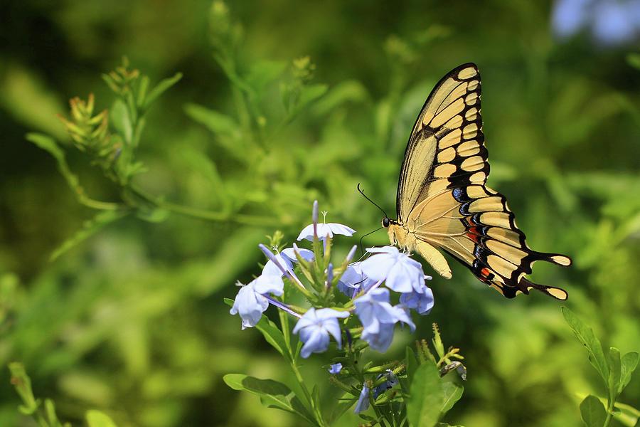 Tiger Swallowtail Photograph