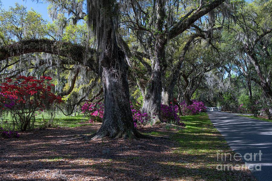 Timeless Beauty - Magnolia Plantation Photograph