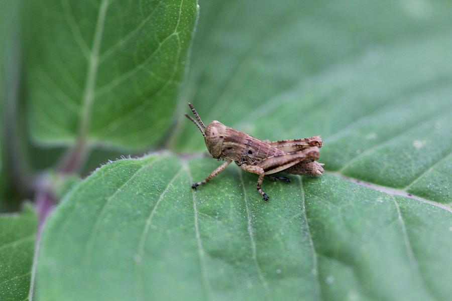 Grasshopper Photograph - Tiny Grasshopper by Callen Harty