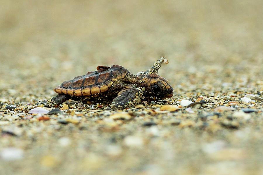 Tiny Turtle Photograph
