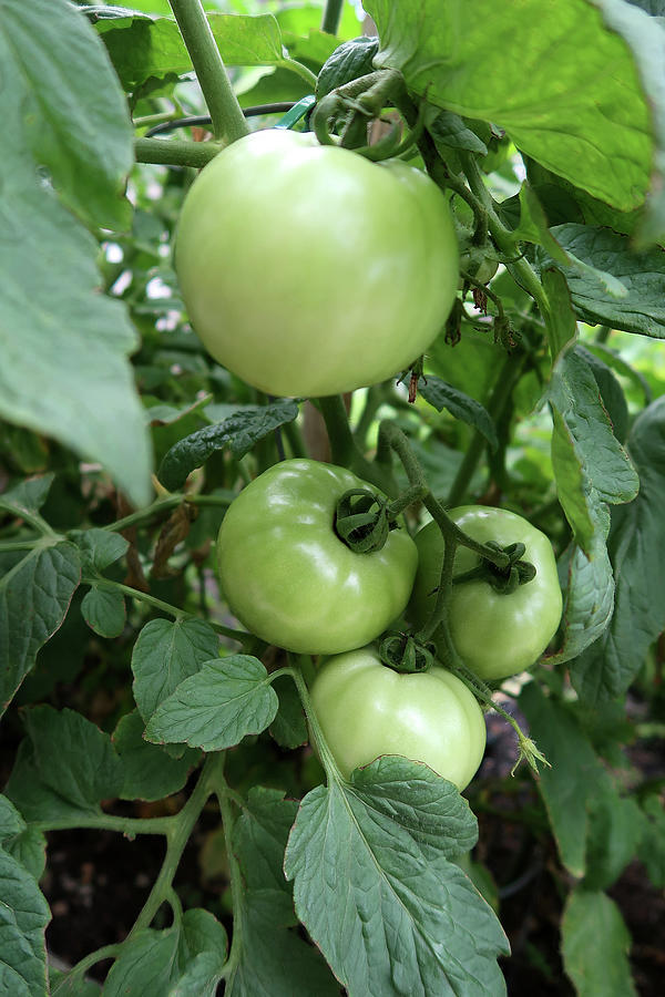 Tomatoes In The Garden Photograph