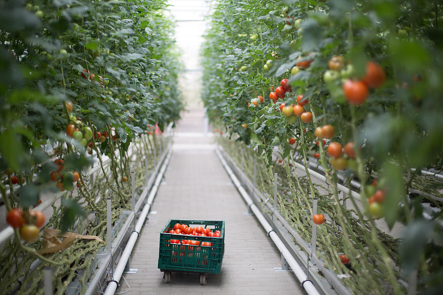 Tomatoes ripening in greenhouse Photograph by Alvarez