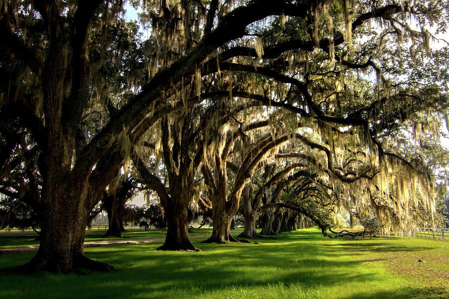 Tomotley Plantation Oak Allee Photograph