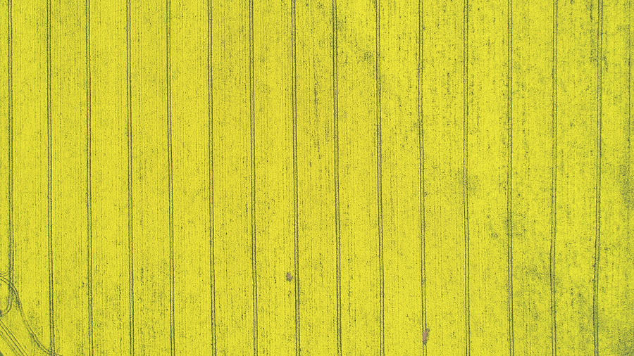 Country Photograph - Top down view of yellow canola field. Cultivated rapeseed canola plantation field by Michael Dechev