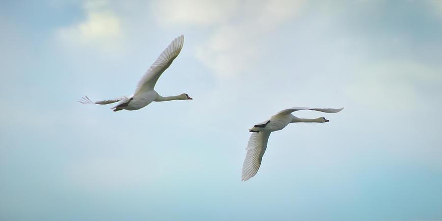 Mute Swan Pair Aloft At Dawn Photograph