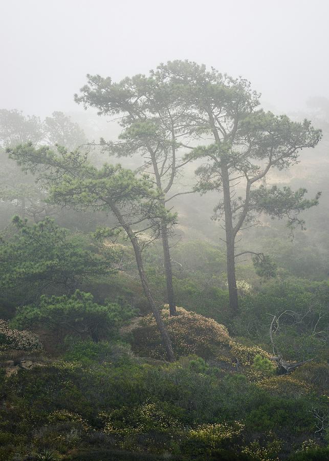 Torrey Pines Photograph - Torrey Pines and Buckwheat in June Fog by Alexander Kunz