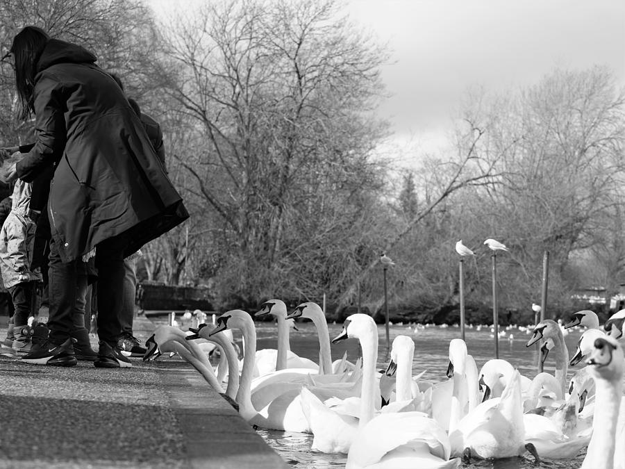 Tourists Feeding The Swans In Windsor, Berkshire, England, Uk March 08, 2020 Photograph