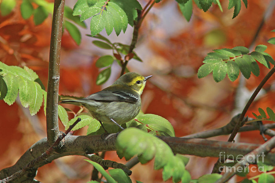 Townsend's Warbler Photograph - Townsends Warbler by Gary Wing