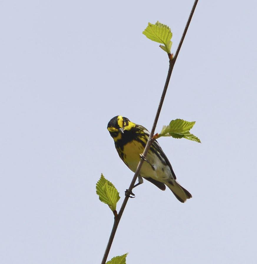 Townsends Warbler Photograph