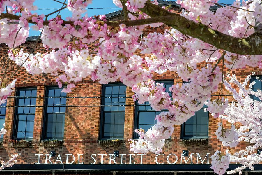 Trade Street Cherry Trees Photograph