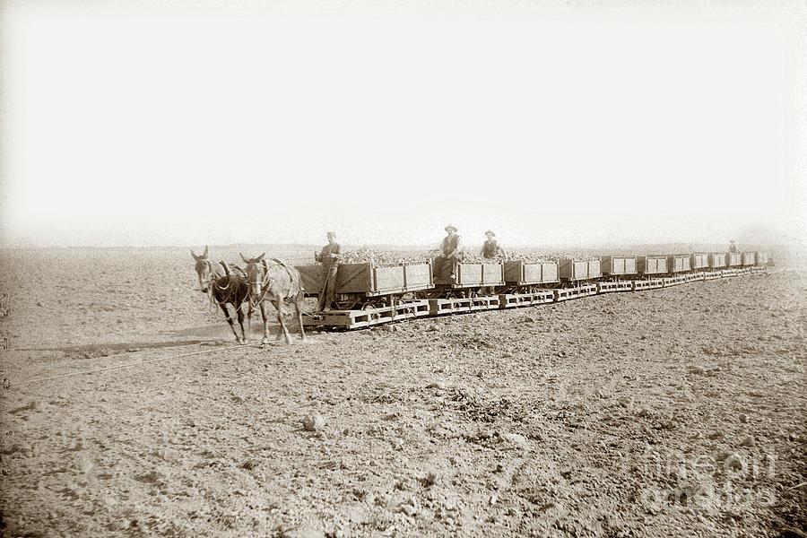 Mules pull loaded sugar beet cars along a portable track  Train by California Views Archives Mr Pat Hathaway Archives