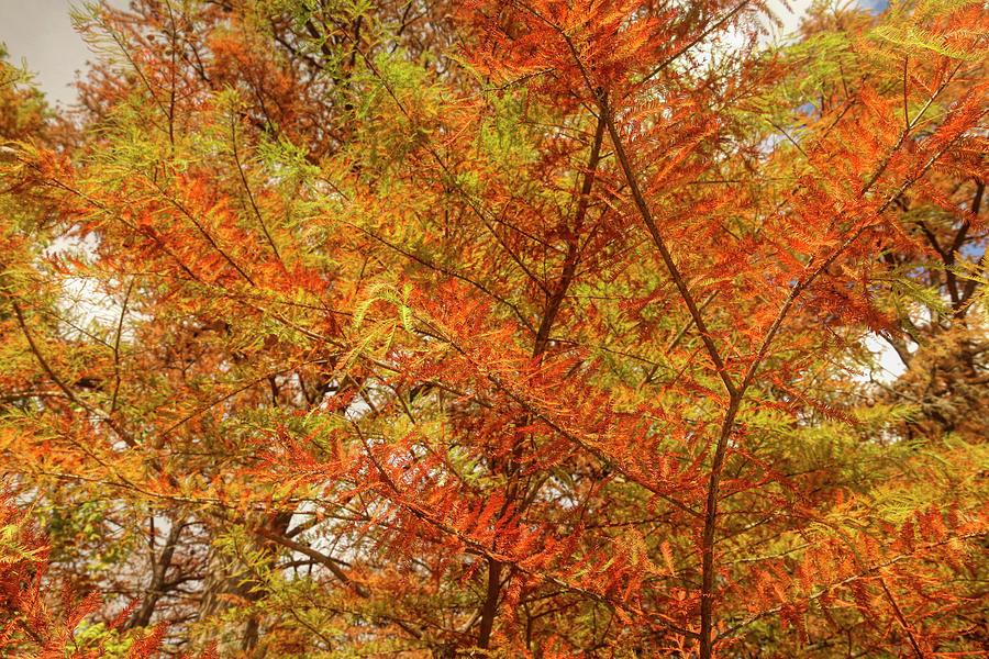 Transitioning Cypress Photograph